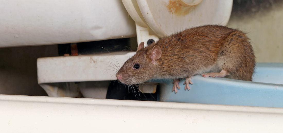 A rat that has entered a home in Kelowna